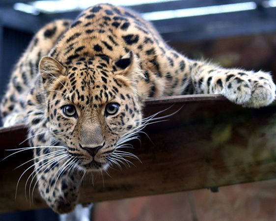 free wallpaper: a fierce leopard  ,click to download