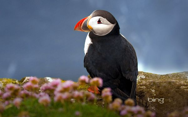 free wallpaper of Atlantic Puffin,click to download