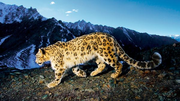free wallpaper of a Snow Leopard looking for food ,click to download