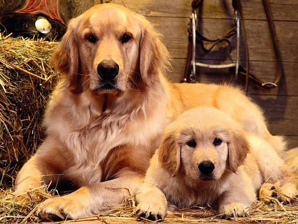 free wallpaper of a mother dog and her baby ,click to download