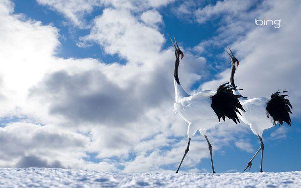 Free Wallpaper Of Animal: Two Cranes Singing To Sky