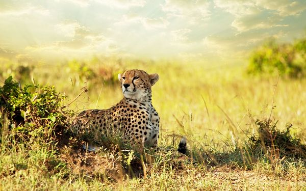 free wallpaper of animals: Cheetah on the savannah of Africa ,click to download