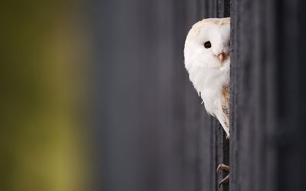 free wallpaper of animals: a white owl hidding behind a tree ,click to download