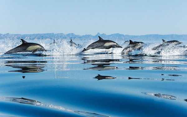 free wallpaper  of animals: lovely Dolphins jumping out of water ,click to download