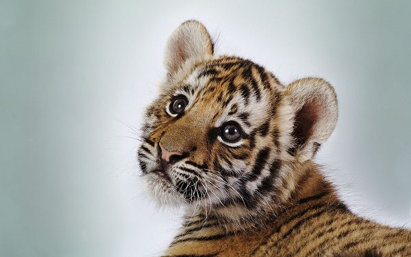 free wallpaper of animals-a cute tiger cub looking at something,click to download