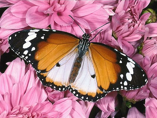 free wallpaper of butterfly - a butterfly lying on the flowers,click to download