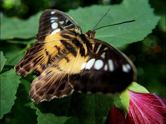 Free Wallpaper Of Butterfly-a Brown Butterfly