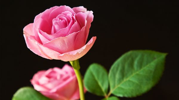 free wallpaper of flower - pink roses full in bloom,click to download