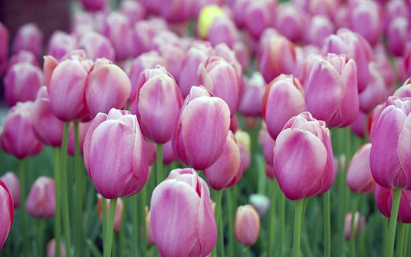 free wallpaper of flowers: beautiful pink tulips of Holland  ,click to download