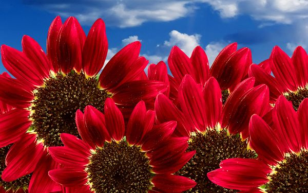 free wallpaper of flowers: blooming Pure Red Sunflowers ,click to download