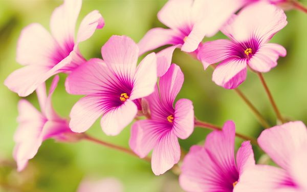 free wallpaper of flowers: pretty Purple Verbena in the background of green  ,click to download