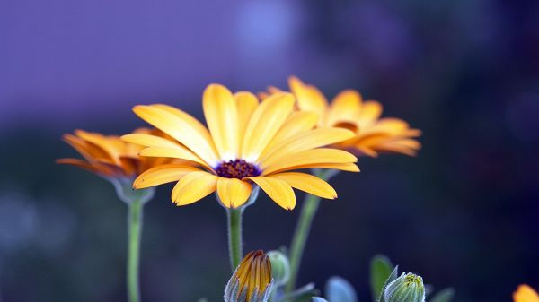 Free Wallpaper Of Flowers: Several Blooming Rudbeckia Flowers