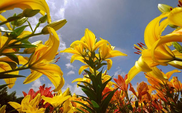 Free Wallpaper Of Flowers-yellow Lilies Full In Bloom