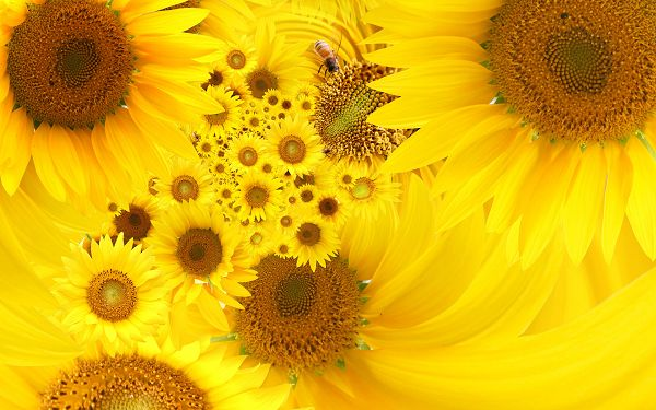 Free Wallpaper Of Flowers-yellow Sunflowers