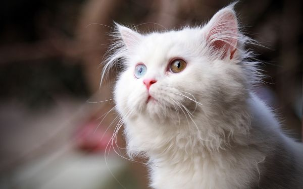 free wallpaper of lovely animalis: a white cat looking upward ,click to download