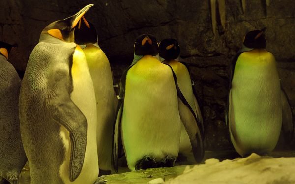 free wallpaper of some sleepy penguins  ,click to download