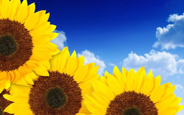 free wallpaper of sunflowers in the blue sky,click to download