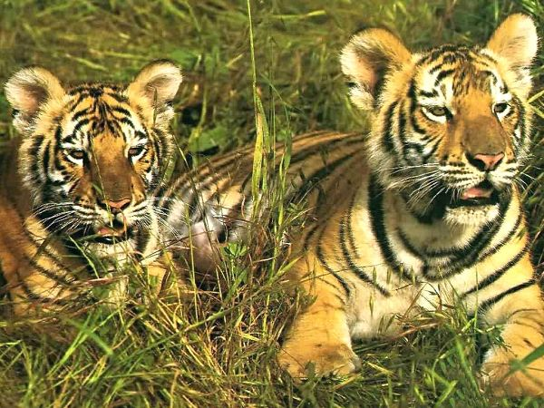 free wallpaper of two tigers lying on the grass ,click to download