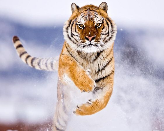 free wallppaer of animals: Manchurian Tiger in snow  ,click to download