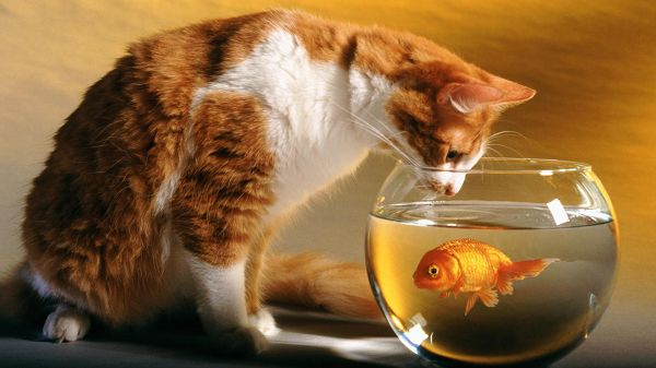 funny wallpaper of a cat that is liiking at a fish in the fish tank ,click to download