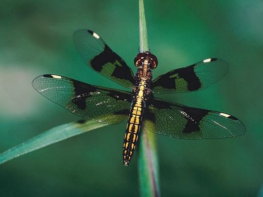 high quality free wallpaper of dragonfly,click to download
