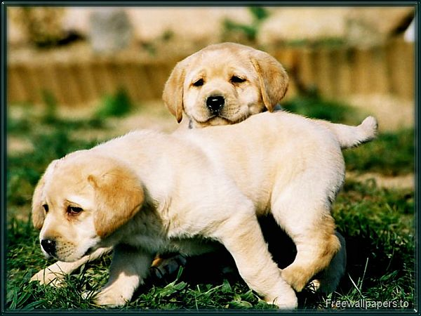high quality free wallpaper:two dogs on the lawn ,click to download