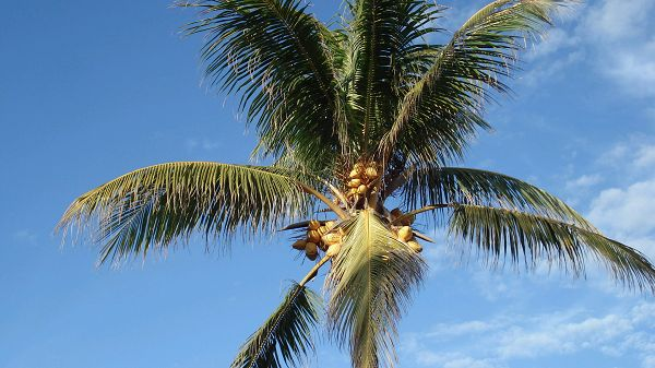 click to free download the wallpaper--images of nature - Coconut Trees Standing Tall and Alone, Under the Blue Sky, It is Living Well
