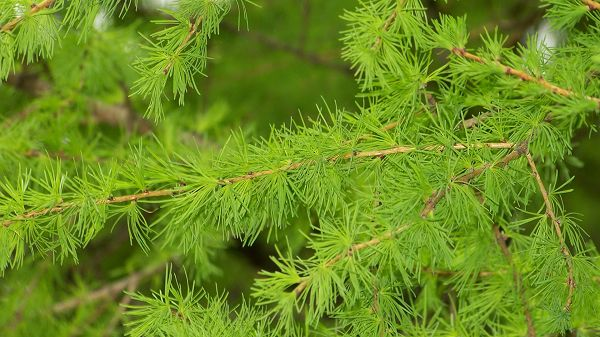 click to free download the wallpaper--images of nature - Pine Trees with Extremely Green Leaves, Spring Must Have Come