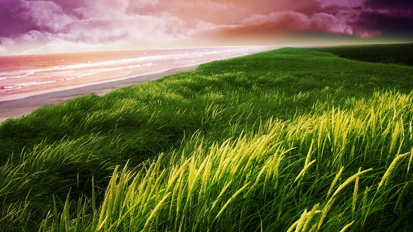 click to free download the wallpaper--images of nature - The Green and Flying Wheats, the Peaceful Sea, the Sky is Somehow Pink
