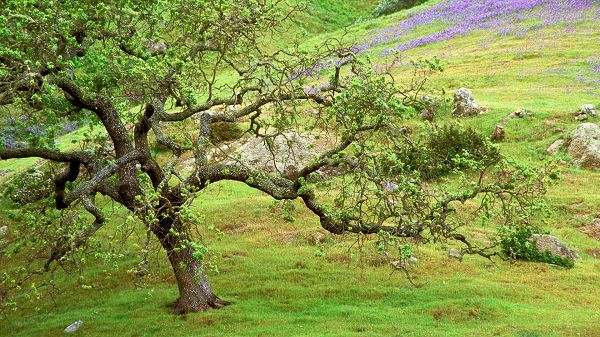 click to free download the wallpaper--landscape image - A Green Tree, Branches in Unique Style, Purple and Blooming Flowers