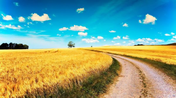 click to free download the wallpaper--landscape photography - The Ripe Golden Wheats Divided by a Narrow Road, the Incredibly Blue Sky