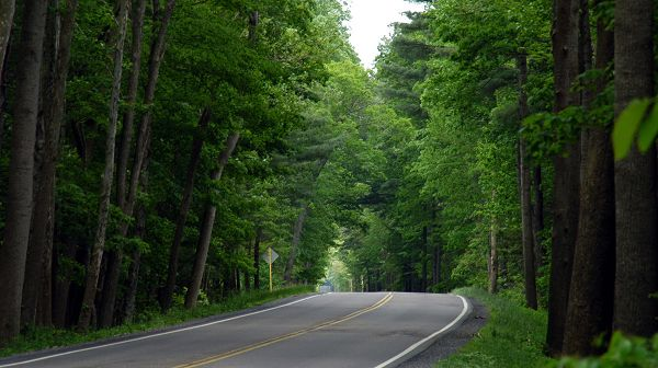 landscape wallpaper - A Narrow Yet Clean Road, Tall and Green Trees by the Side, Great in Look