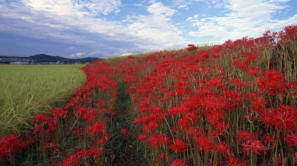 click to free download the wallpaper--landscape wallpaper - Green Plants and Red Flowers, the Blue Sky, Quite a Contrast
