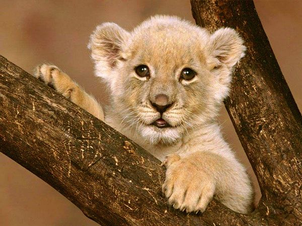 Lovely Baby Lion Free Wallpaper