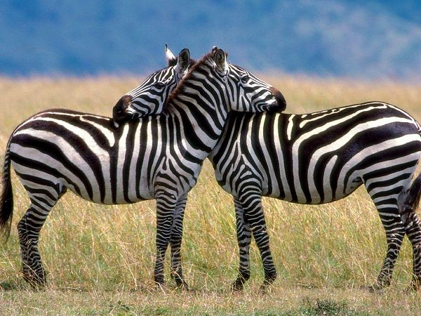 Lovely Free Wallpaper In High Quality: Zebra In Prairie