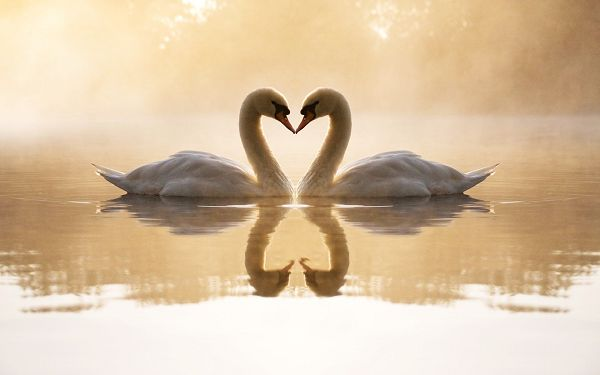 lovely wallpaper of two swans playing in water ,click to download
