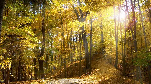 click to free download the wallpaper--natural photos - Bright Sunlight Pouring in, Yellow Leaves, is Prosperous Scene