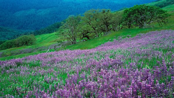 click to free download the wallpaper--natural scenery photos - Purple Flowers in Bloom, Green Trees on the Hillside, What a Scene!