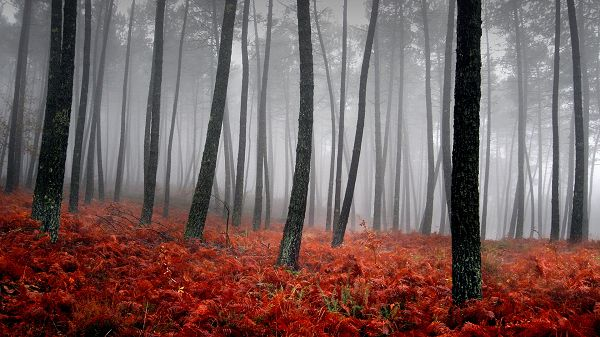 click to free download the wallpaper--nature photos free download - Black Tall Trees on a Red Field, the Scene Faraway is Misty and Unclear
