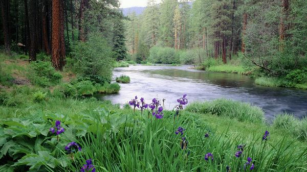 click to free download the wallpaper--pictures of nature scenery - River in Quiet Flow, Purple Flowers Alongside, is Totally Impressive and Fit