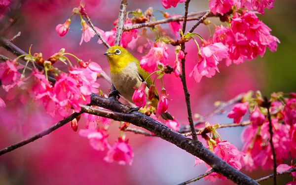 pretty wallppaer of animals: a small yellow bird on the branch of rose color cherry tree ,click to download