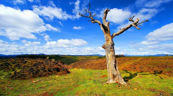 sceneries pictures - The Blue Sky with White Clouds on, a Tall Tree Stretching Out Its Arms