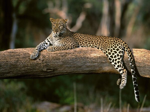 scenery free wallpaper of Spotted Panther ,click to download