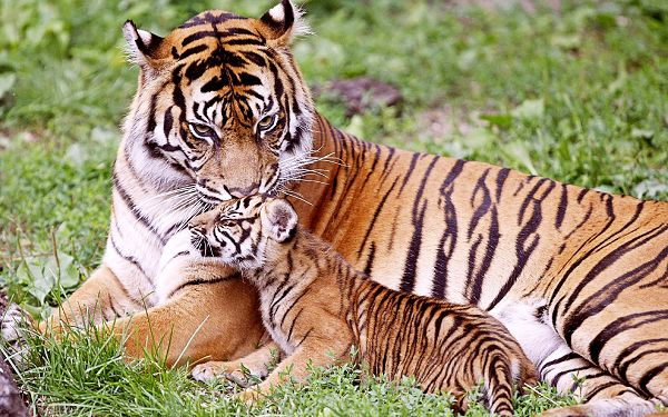 Sweet Wallpaper Of Tigers: A Tiger Is Kissing Her Baby