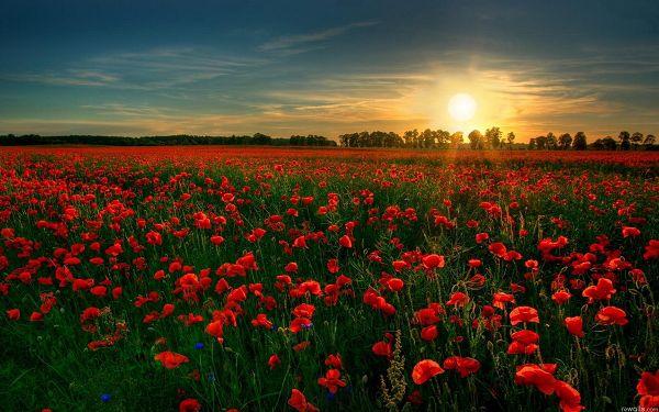 Wallpaper Of A Flower Garden-red Flowers Full In Bloom