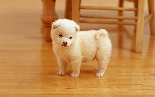 Wallpaper Of Animal: A Lovely White Puppy