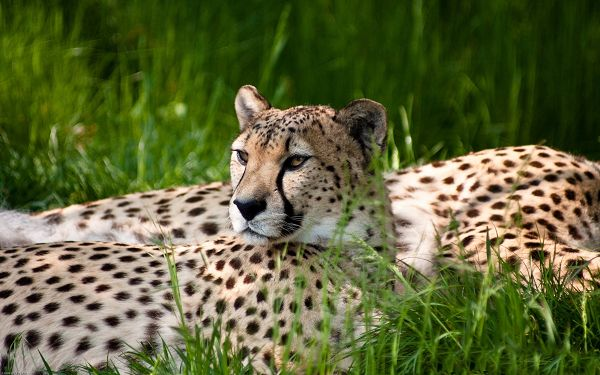 wallpaper of animal: the fastest animal on the land - cheetah ,click to download