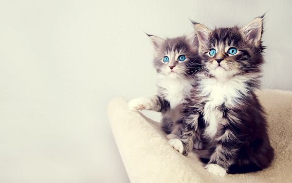 Wallpaper Of Animalis: Two Lovely Kittens