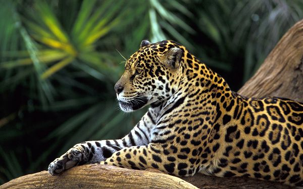 wallpaper of animals: Jaguar lying on the branch ,click to download