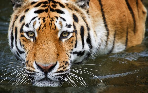 Wallpaper Of Animals: A Wuppertal Tiger Lying In The Water